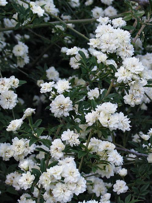White Banks Rose