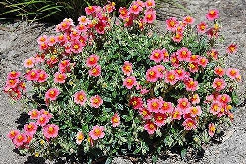Pink Sunrose