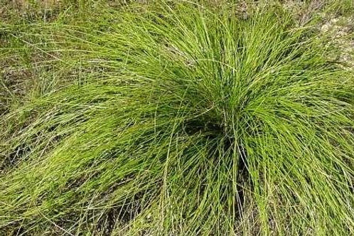 Sacahuista Bear Grass