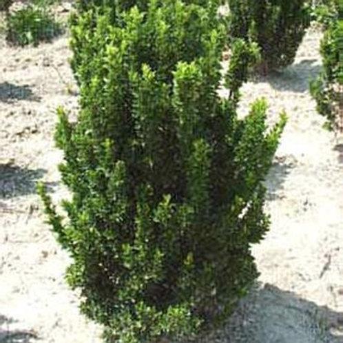 Green Spire Euonymus