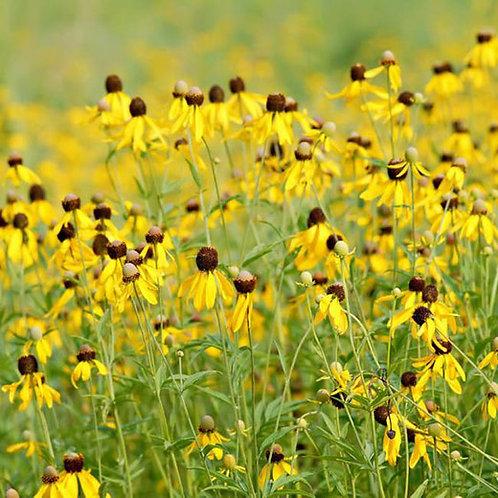 Yellow Prairie Coneflower
