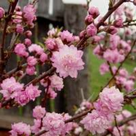 Dwarf Flowering Almond