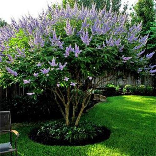 Purple Chastetree