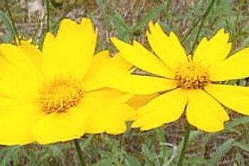 Lance leaf Tickseed