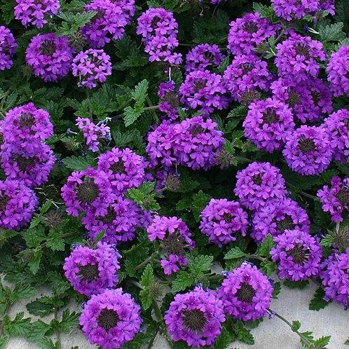 Valley Lavender® Plains Verbena