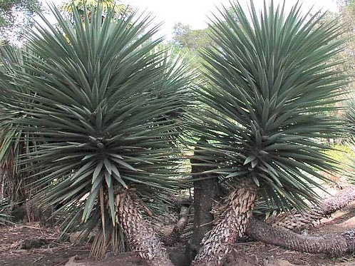 Mountain Yucca