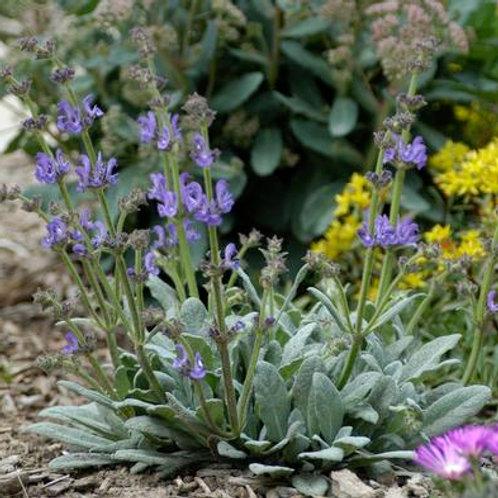 Plantinum® Sage