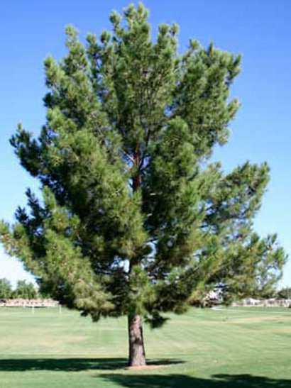 Afghan Pine