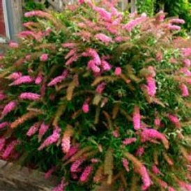 Flutterby Petite Pink Butterfly Bush
