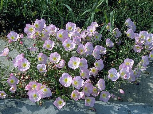 New Mexico Primrose