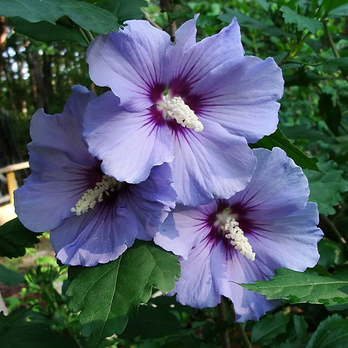 Blue Marlin Rose of Sharon