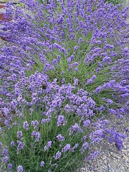 Buena Vista English Lavender