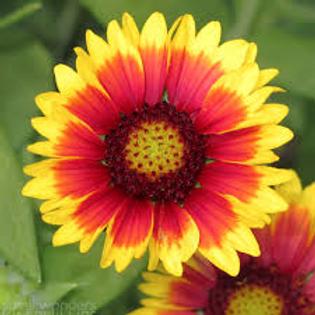 Native Blanket Flower