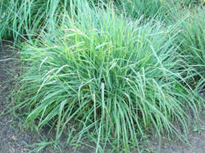 Silver Spike Grass