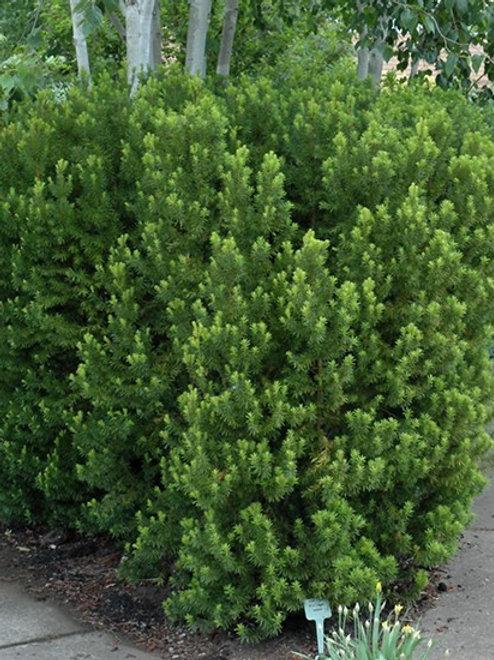 Hick's Yew