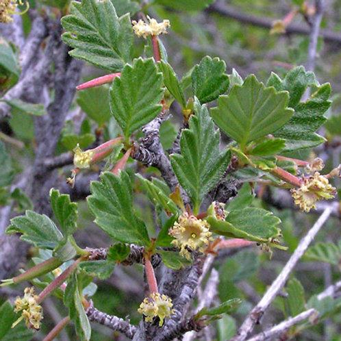True Leaf Mountain Mahogany