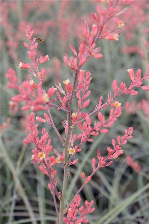 Desert Flamenco Dwarf Pink Yucca