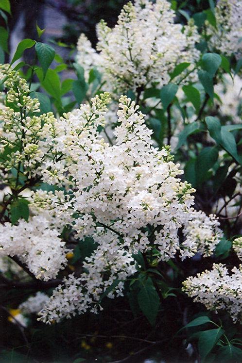 Mount Baker Canadian Lilac