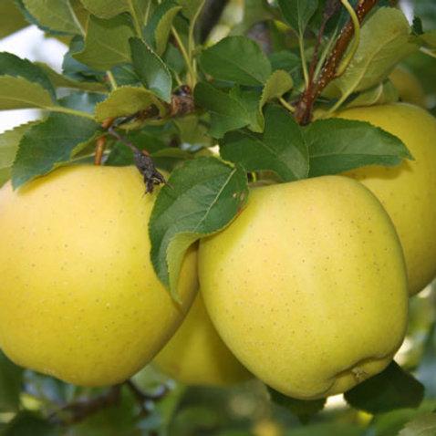 Yellow Delicious Apple Semi-Dwarf