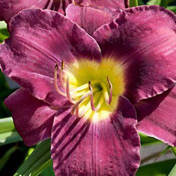 Purple d'Oro Daylily
