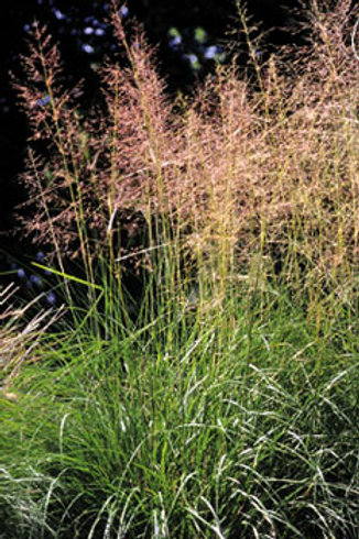 Alkali Sacaton Dropseed