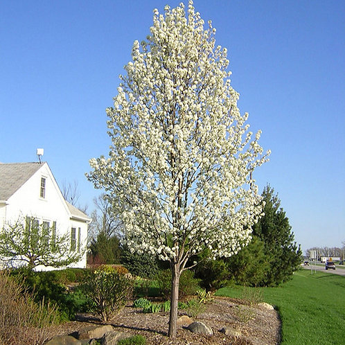 Cleveland Select Flowering Pear