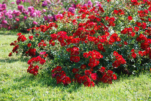 Red Ground Cover Rose