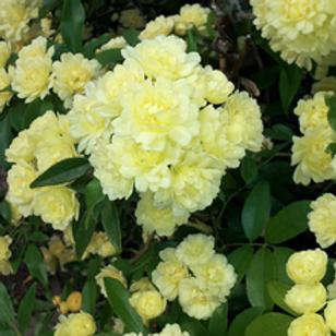 Yellow Banks Rose