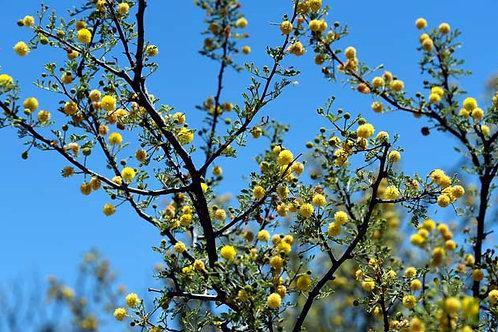 Whitethorn Acacia