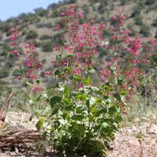 Desert Penstemon