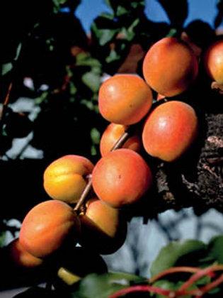 Moorpark Apricot Semi-Dwarf