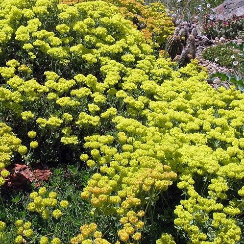 Kannah Creek® Buckwheat