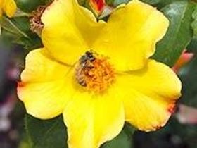 Flutterbye™ Climbing Rose