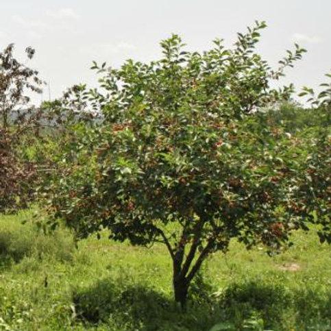Bing Cherry Semi-Dwarf
