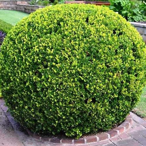 Green Japanese Boxwood