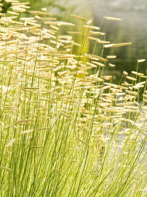 Blonde Ambition Grama Grass