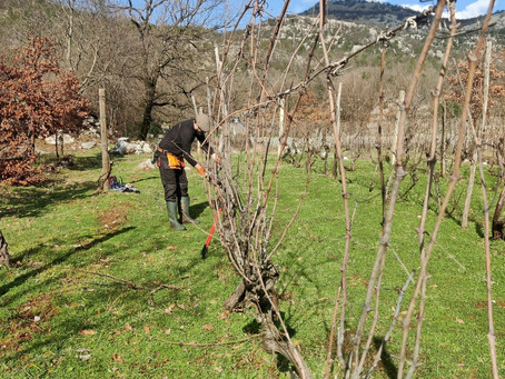 The Art of Pruning Grapevines