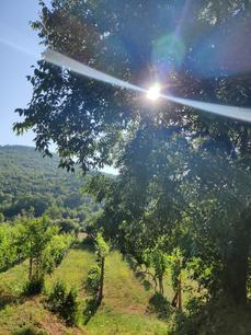 Rvasi Vineyards at Sunrise