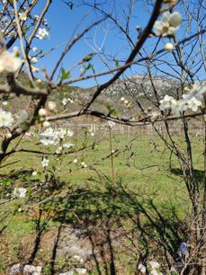 Vineyards behind plum tree blossoming