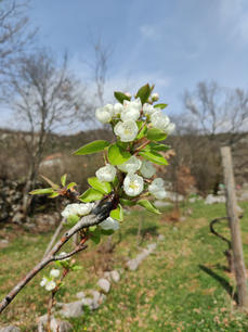 Plum trees blossoming