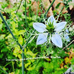 Wildflowers at Rvasi Cottage: Fennel or Black cumin flower