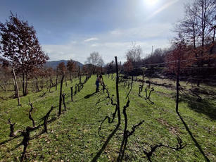 Pruning vines