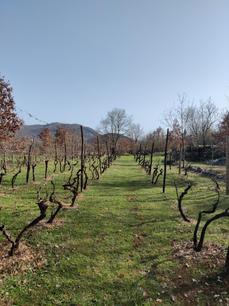 Vineyards after winter pruning