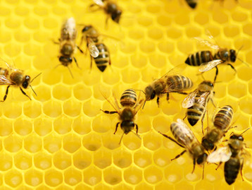 Bee Stings and Homeopathy