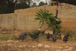 התרנגולות והתרנגול