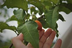 עץ חמאת הבוטנים