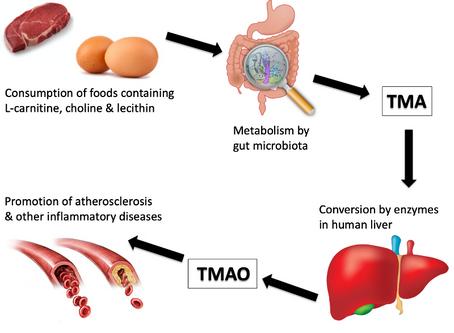 TMAO and Heart Health    by Christina Badaracco, MPH, RD