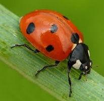 laddybug.jpg