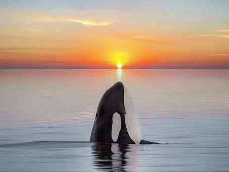 Fotógrafa captura beleza de orcas no oceano