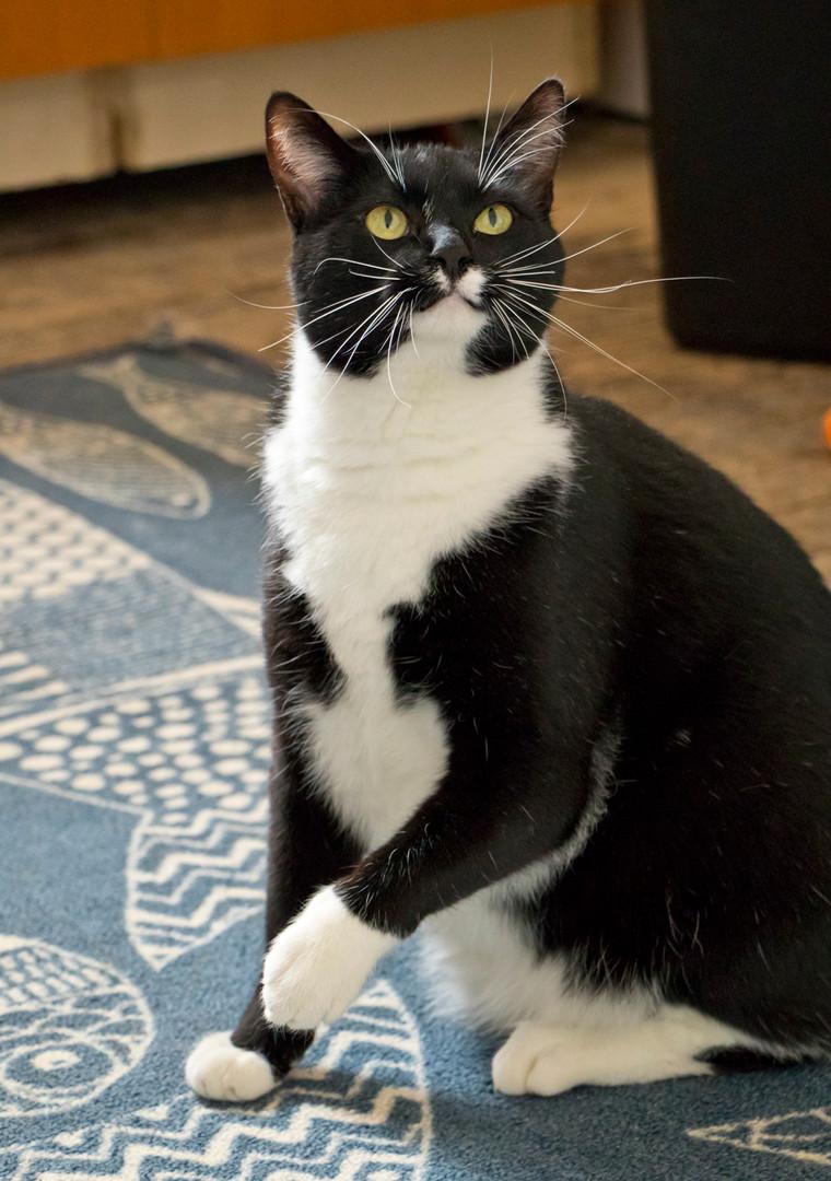 Garbanzo Bean (Tenth Life cat)